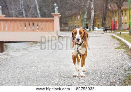 Sad beagle dog standing alone in the park