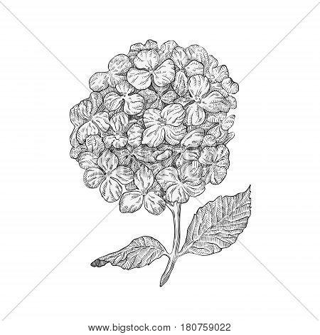 Hydrangea Flowers Vector Photo Free Trial Bigstock