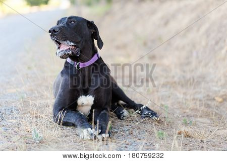 Close Up Image Of A Great Dane Dog Laying On The Ground