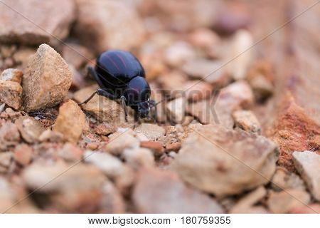 Tok-Tokkie beatle walking on the ground in its natural habitat
