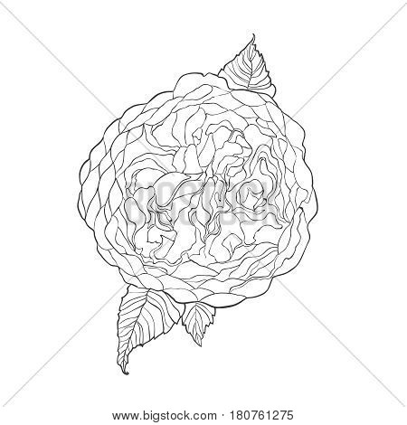 Contour sketch image of Austin rose flower isolated on white background. Hand drawn watercolor drawing. Can be used for coloring book. Botanical vector illustration.