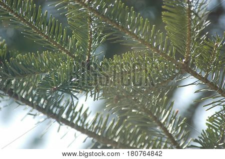 pine tree ever green  branch needles  sun shine