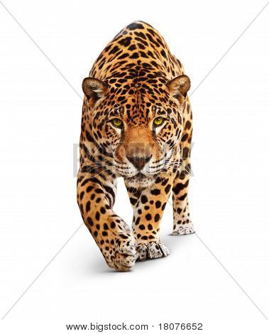 Spotted wild cat - Panther, looking and walking to the camera. White background, shadow poster