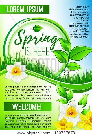 Spring is here vector poster for springtime holiday design of flowers bunch narcissus and daffodils bouquet on blooming nature grass lawn or field. Welcome Spring floral greeting design