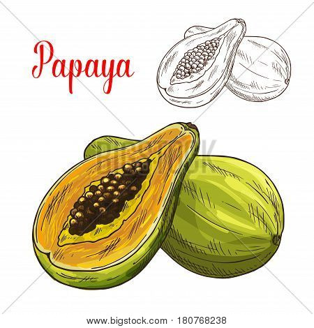 Papaya sketch. Vector isolated fruit icon of exotic papaw or pawpaw cut or sliced to flesh. Tropical Asian or Mexican papaya fruit symbol for grocery store, shop and farm market