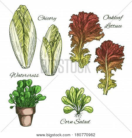 Lettuce salads and vegetables leaves sketch icons. Vector Isolated leaf of chicory and oakleaf lettuce, corn salad and watercress in pot. Vegetarian cuisine ingredients and condiments