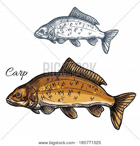 Carp sketch vector fish icon. Isolated freshwater lake or river crucian fish species. Isolated symbol for seafood restaurant sign or emblem, fishing club or fishery market