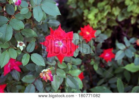 A red double knockout rose blooms in a flower garden in Joliet, Illinois during September.