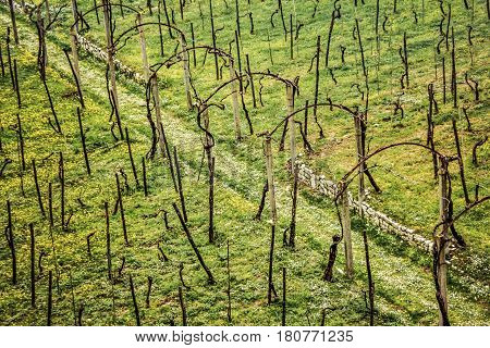 A winter vineyard near Cassino Italy viewed from above.
