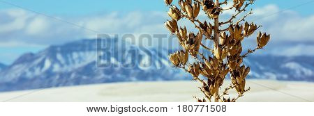A dried winter Yucca plant in the New Mexico desert.