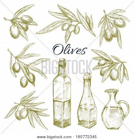 Olives branches and olive oil bottles and pitchers. Vector sketch symbols of fresh green olive fruits harvest for Italian cuisine design or extra virgin oil food or cosmetic product packaging