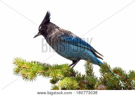 Mountain blue jay bird sitting on a branch in an evergreen tree in Colorado isolated on white background