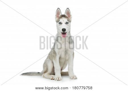 Beautiful siberian husky puppy dog. Isolated on white background. Copy space.