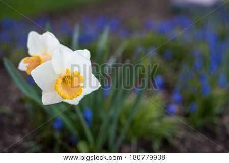 white orchid flower with yellow center and blue and purple and green blurred background