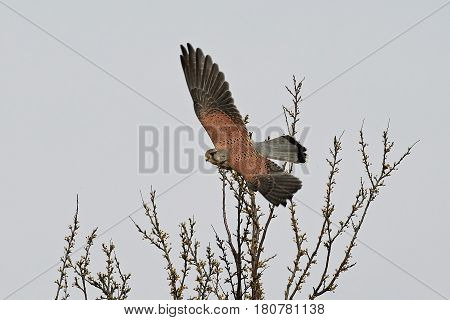 Common kestrel in flight with vegetation in the background