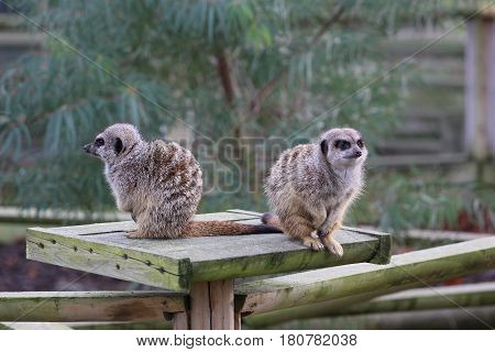 2 Meerkats sitting on a platform facing away from each other