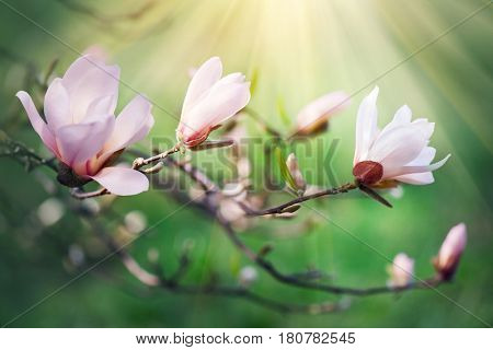 Spring magnolia blossom background. Beautiful nature scene with blooming tree and sun flare. Sunny day. Beauty  Pink Magnolia Spring flowers. Beautiful Garden. Abstract blurred background. Springtime