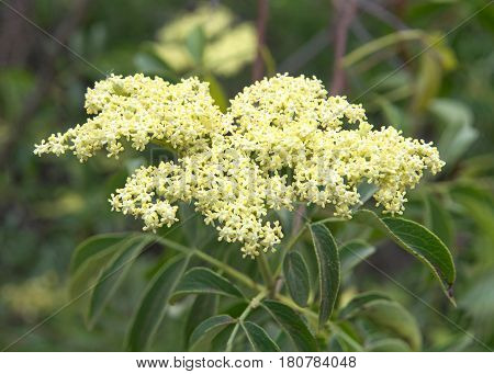 Close up on a cluster of Cornus drummondii flowers commonly known as the roughleaf dogwood is a small deciduous tree that is native primarily to the Great Plains and Midwestern regions of the U.S.