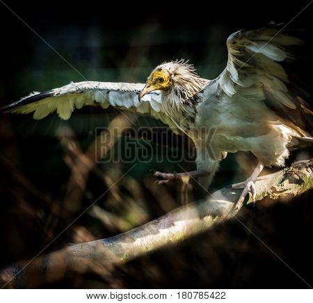 Big Bird Egyptian vulture (Neophron percnopterus) on dark background