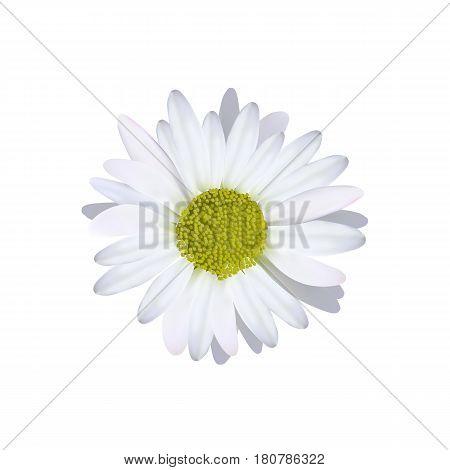 Camomile daisy single flower high quality vector illustration.