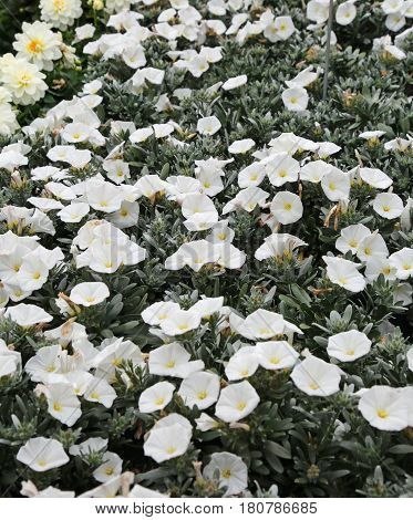 Convolvulus White Flowers In The Garden