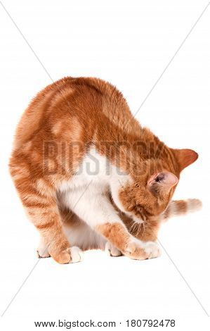 Red cat sitting and licking isolated on white background.