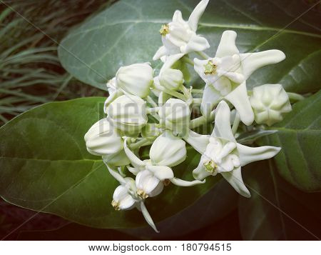 Giant Indian Milkweed or White Crown flower. Picture in vintage and retro style.