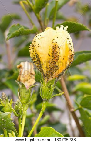 Mealybug on hibiscus yellow flower. Plant aphid insect infestation. Thick infestation, garden
