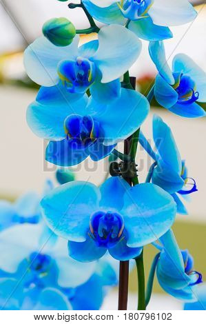 holiday background with beautiful close up blue orchid flowers