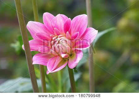 Pink Dahlia Flower On The Natural Background, Closeup Photo