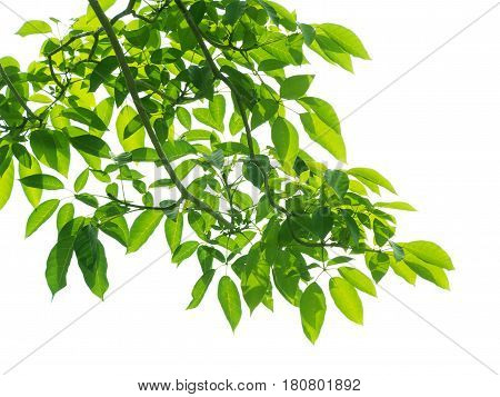 a frame of Green leaves on white background