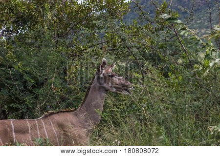 Greater kudu female looking out for predators