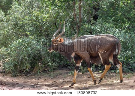 Nyala (Tragelaphus angasii) male in Marakele national park