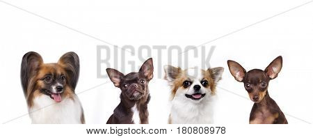 group of small decorative dog companions
