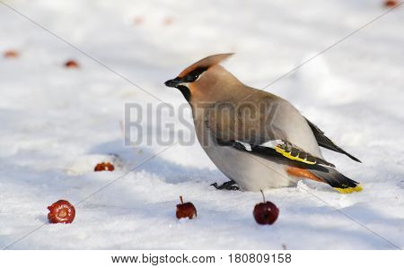 Small birds of the steppes form greater group an animal