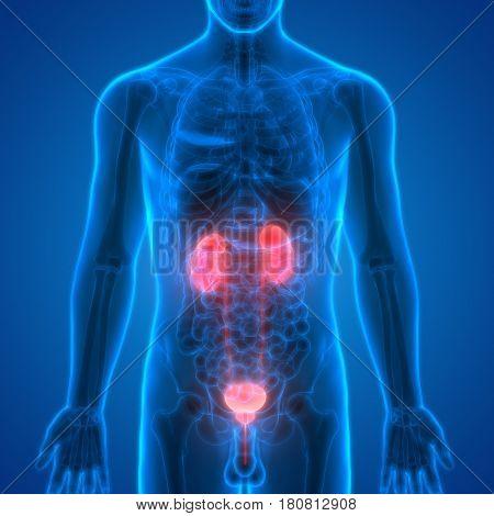3D Illustration of Human Body Organs (Kidneys with Urinary Bladder)