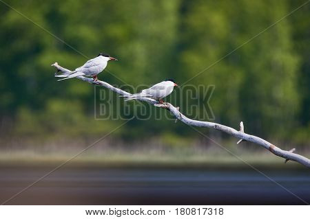 Two Common Terns  Sitting On A Tree Branch. Beautiful White Birds Green Forest On The Background.