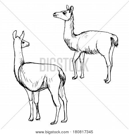 vector set of lamas, hand drawn sketch of animals isolated at white background