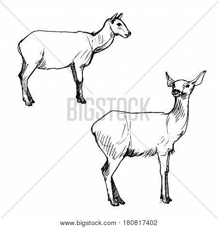 vector set of female deers, hand drawn sketch of animals isolated at white background