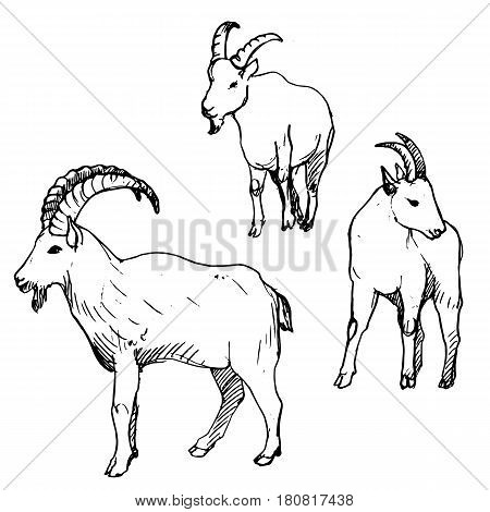 vector set of rams, male of sheep, hand drawn sketch of animals isolated at white background