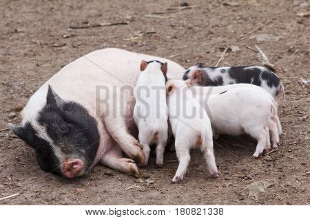 Fertile sow lying and piglets suckling milk