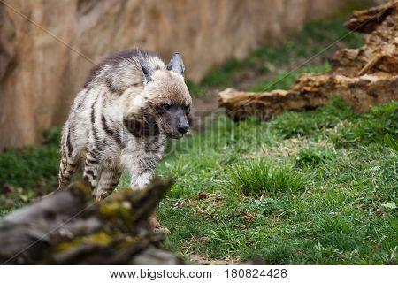 Striped hyena (Hyaena hyaena sultana), Hyena running