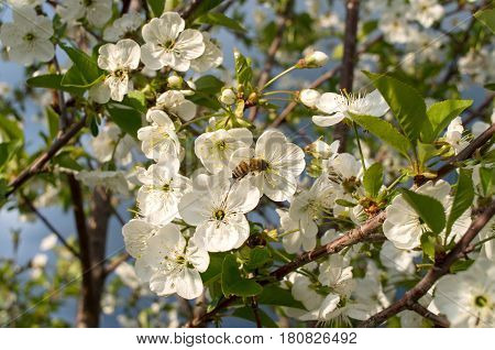 Blooming branch of sour cherry tree in spring.