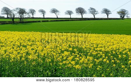 Rapeseed field with row of trees on a horizon in East Devon England