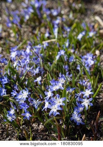 Glory of the snow. Chionodoxa. One of the very earliest signs of spring is when the glory of the snow emerges with its magnificent blue star-shaped petals and white center poster