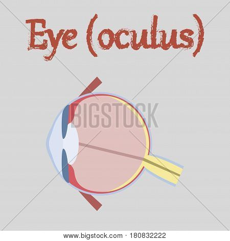 human organ icon in flat style eye
