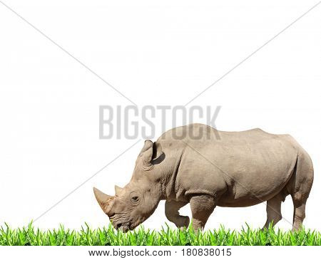 White rhinoceros (square-lipped rhinoceros, Ceratotherium simum) and green grass. Isolated on white background