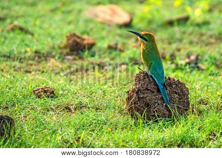 Blue-tailed Bee-eater or Merops philippinus in Sri Lanka