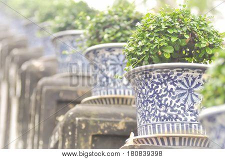Carmona retusa or Fukien tea tree in the flowerpot at the palace in Phetburi Thailand