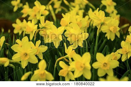 Daffodils. Flowers of daffodils. Yellow daffodil flower in the field.